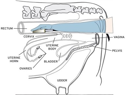 Cow reproductive tract diagram free download wiring diagram farm animal reproductive tract ultrasound learning resources bcf bovine ultrasound vs manual palpation and blood testing female cow anatomy bovine ccuart Choice Image